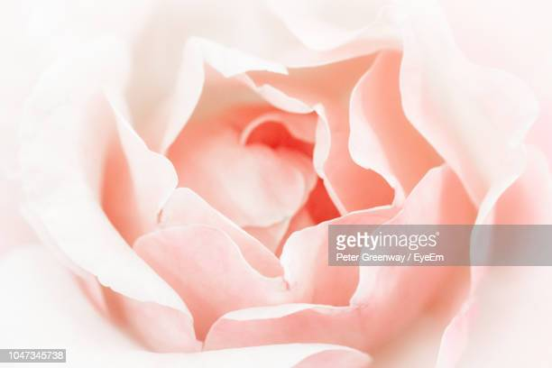 close-up of white rose - rose petals stock pictures, royalty-free photos & images