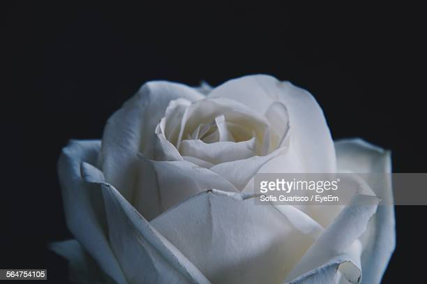 close-up of white rose - sofia rose stock photos and pictures