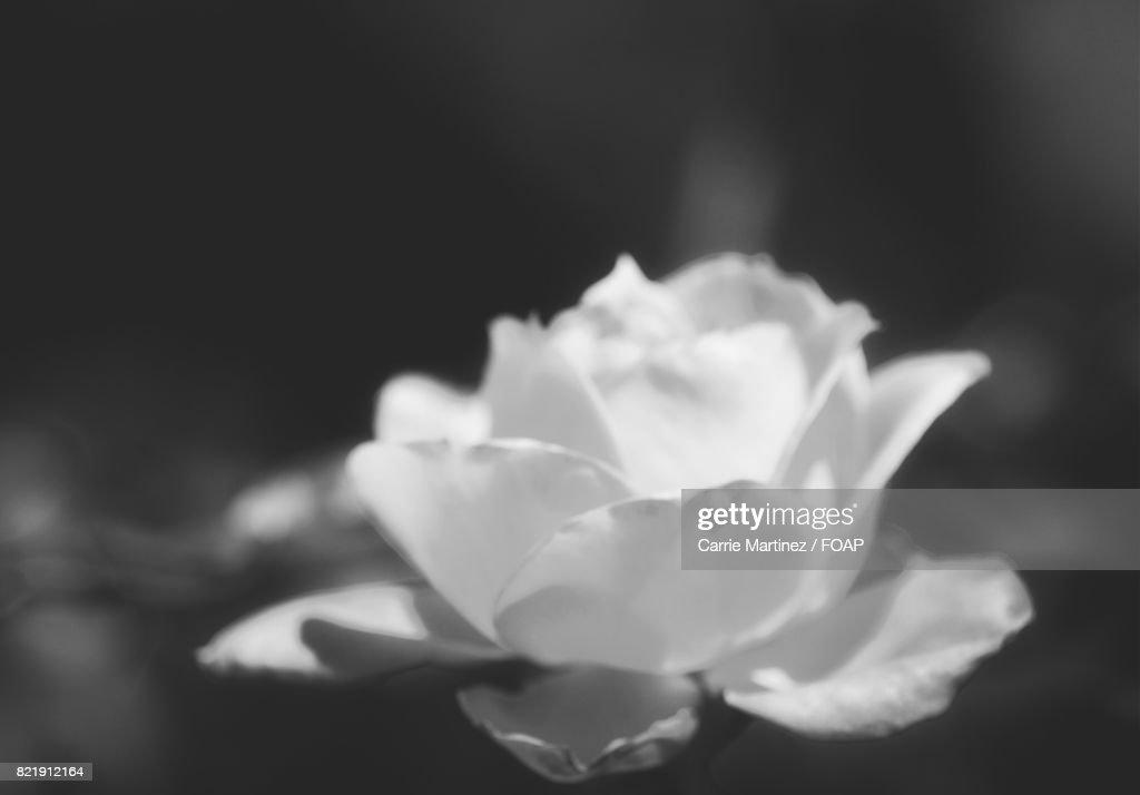 Close-up of white rose : Stock Photo