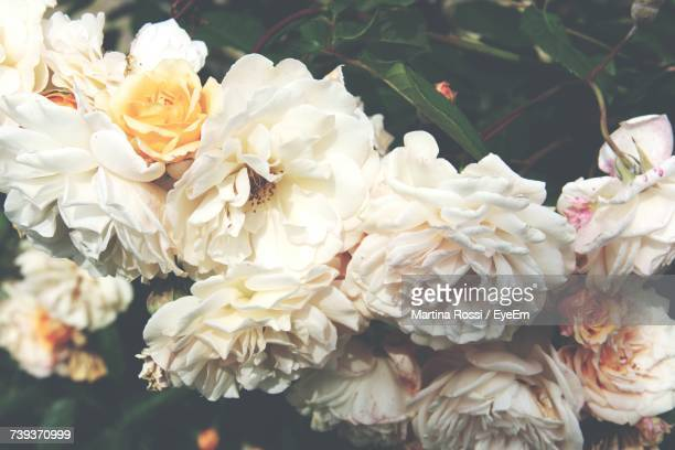 Close-Up Of White Roses Blooming Outdoors