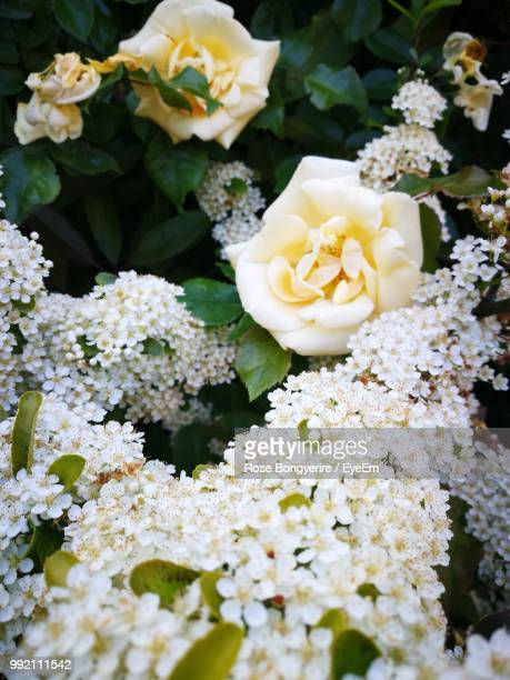 close-up of white roses - flowering plant stock photos and pictures