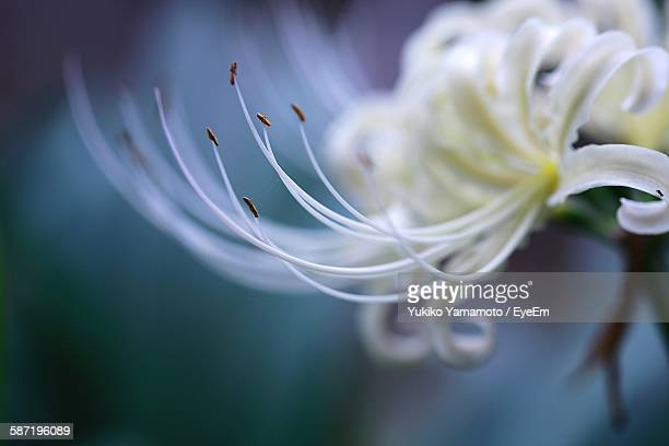 Close-Up Of White Spider Lily Blooming Outdoors
