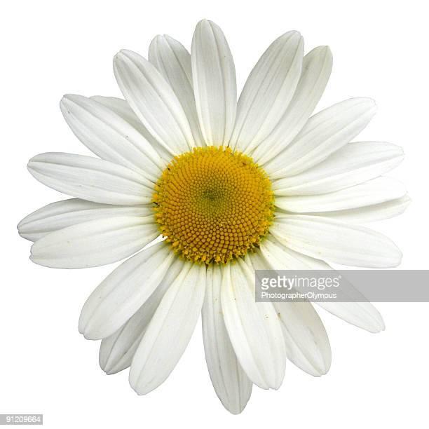 Printemps Marguerite isolé blanc