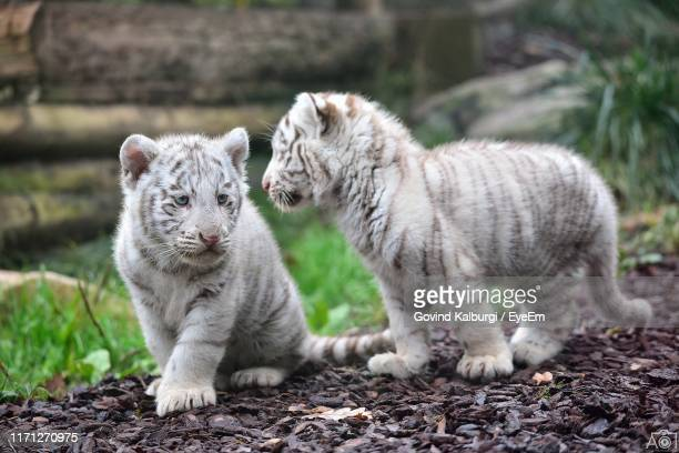 close-up of white tiger cubs on land - cub stock pictures, royalty-free photos & images
