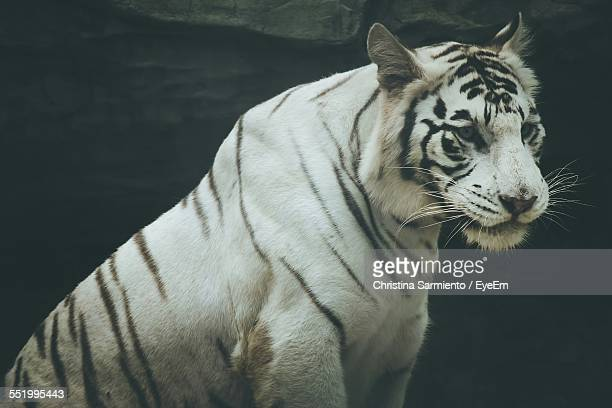 Close-Up Of White Tiger