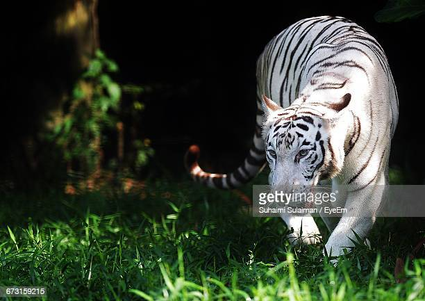 close-up of white tiger walking in forest - white tiger stock photos and pictures