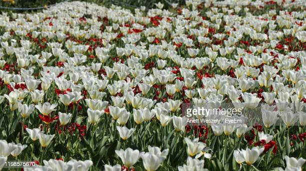 close-up of white tulips - bad homburg stock pictures, royalty-free photos & images