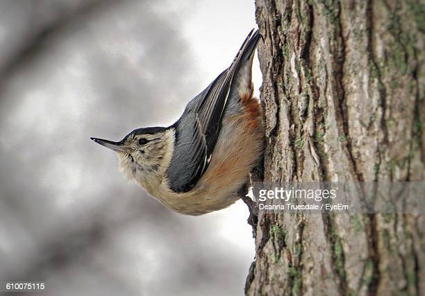 Close-Up Of White-Breasted Nuthatch On Tree Trunk