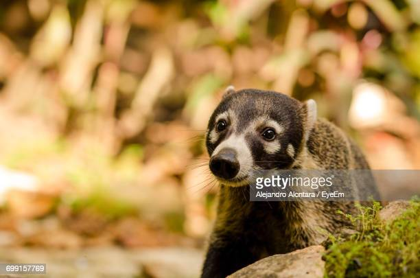 close-up of white-nosed coati looking away - coati stock pictures, royalty-free photos & images