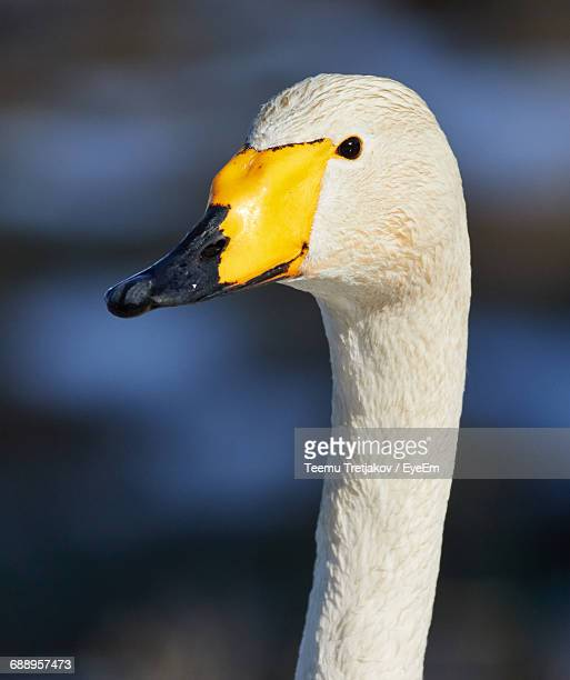 close-up of whooper swan - teemu tretjakov stock pictures, royalty-free photos & images
