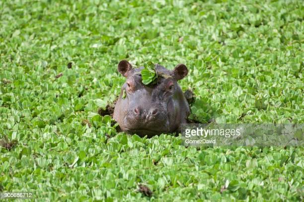 Nahaufnahme des wilden afrikanischen Hippo mit Kopf oben schwimmenden Wasser Salat