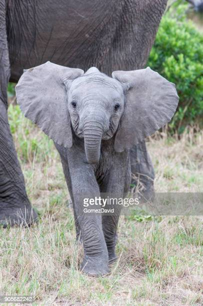 close-up of wild baby elephant taking a aggressive posture - baby elephant stock photos and pictures