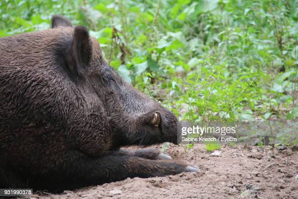 Close-Up Of Wild Boar Resting On Field