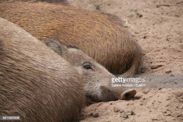 Close-Up Of Wild Boars Resting On Field
