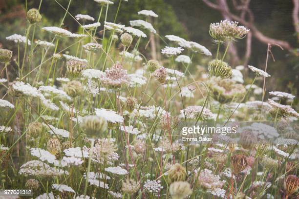close-up of wild carrots (queen annes lace) - emma baker stock pictures, royalty-free photos & images