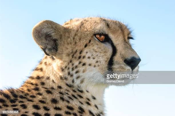 Close-up of Wild Cheetah Sitting on Safari Vehicle Roof