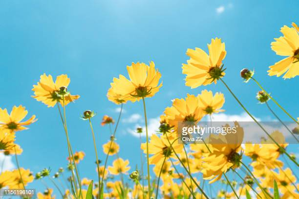 close-up of wild flowers against sunlight and blue sky - gelb stock-fotos und bilder