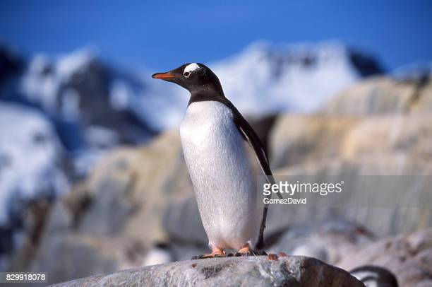 Close-up of Wild Gentoo Penguin Standing on Rocky Outlook