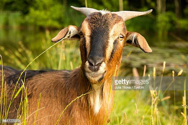 Close-Up Of Wild Goat In Summer