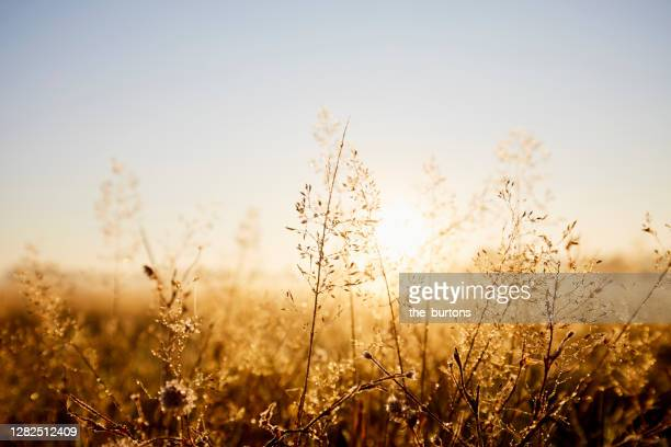 close-up of wild grasses, idyllic landscape and fog during sunrise in the morning - back lit stock pictures, royalty-free photos & images