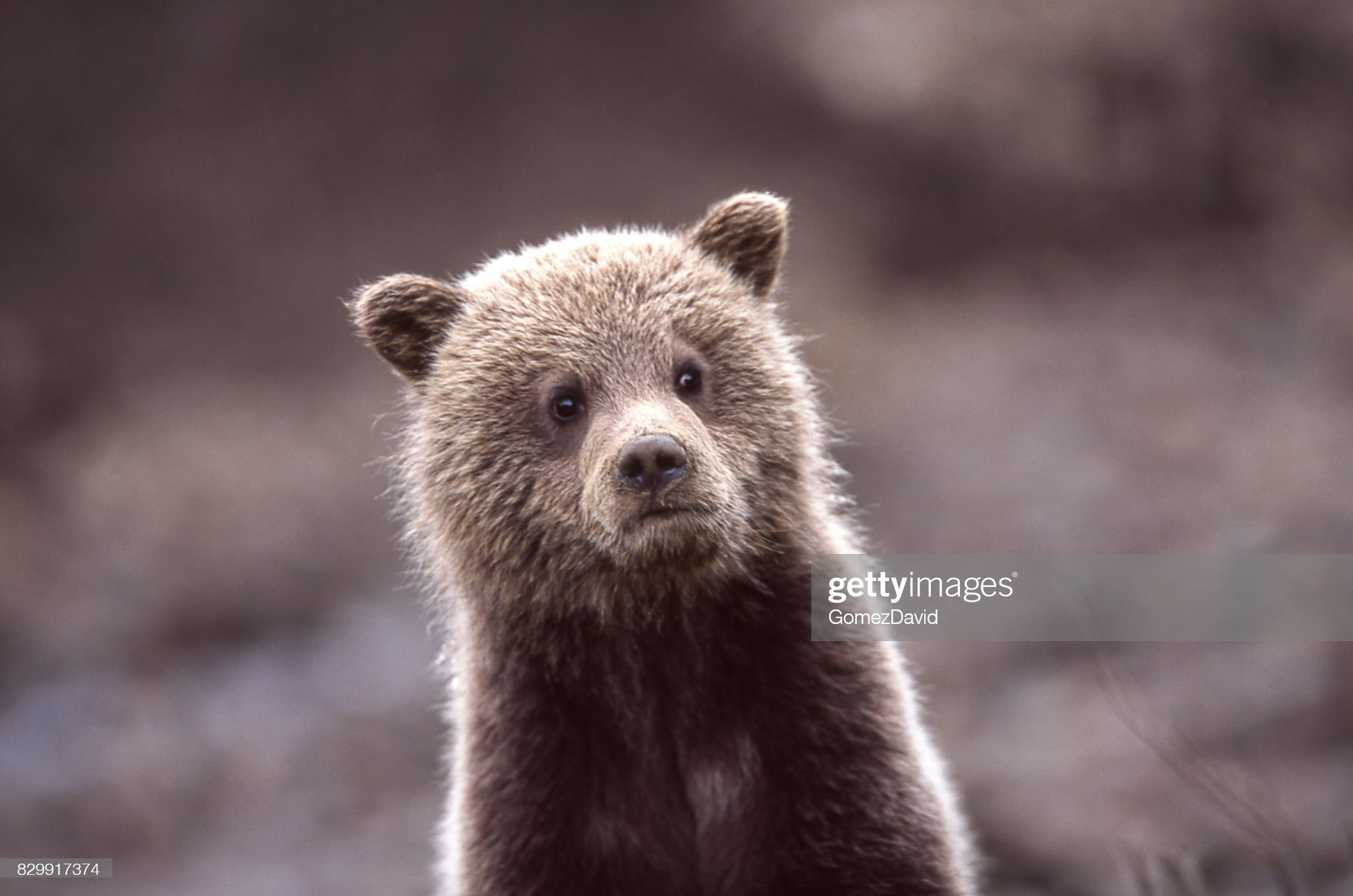 Close-up of Wild Grizzly Bear Cub : Foto stock