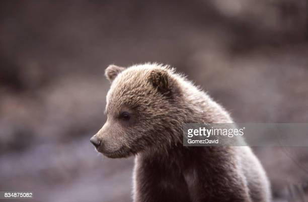 Close-up of Wild Grizzly Bear Cub
