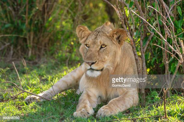 Close-up of Wild Lioness Resting in Shade