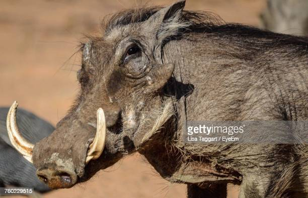 close-up of wild pig - ugly pig stock pictures, royalty-free photos & images