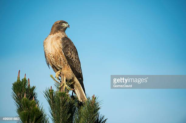 Close-up of Wild Red Tailed Hawk