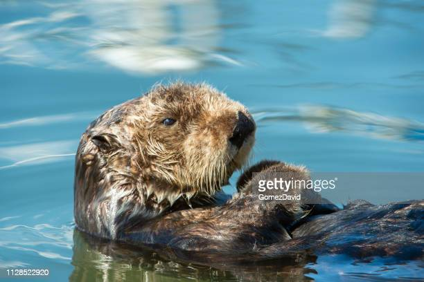 close-up of wild sea otter resting in calm ocean water - aquatic mammal stock pictures, royalty-free photos & images