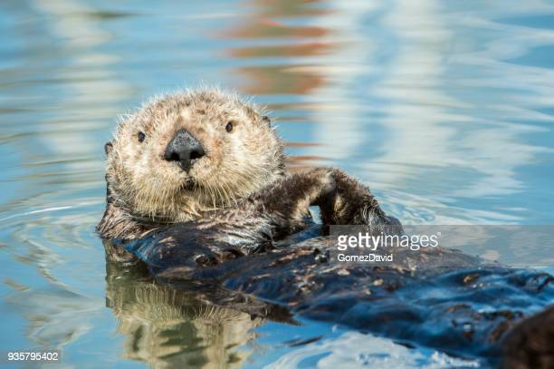 close-up of wild sea otter resting in calm ocean water - sea otter stock photos and pictures