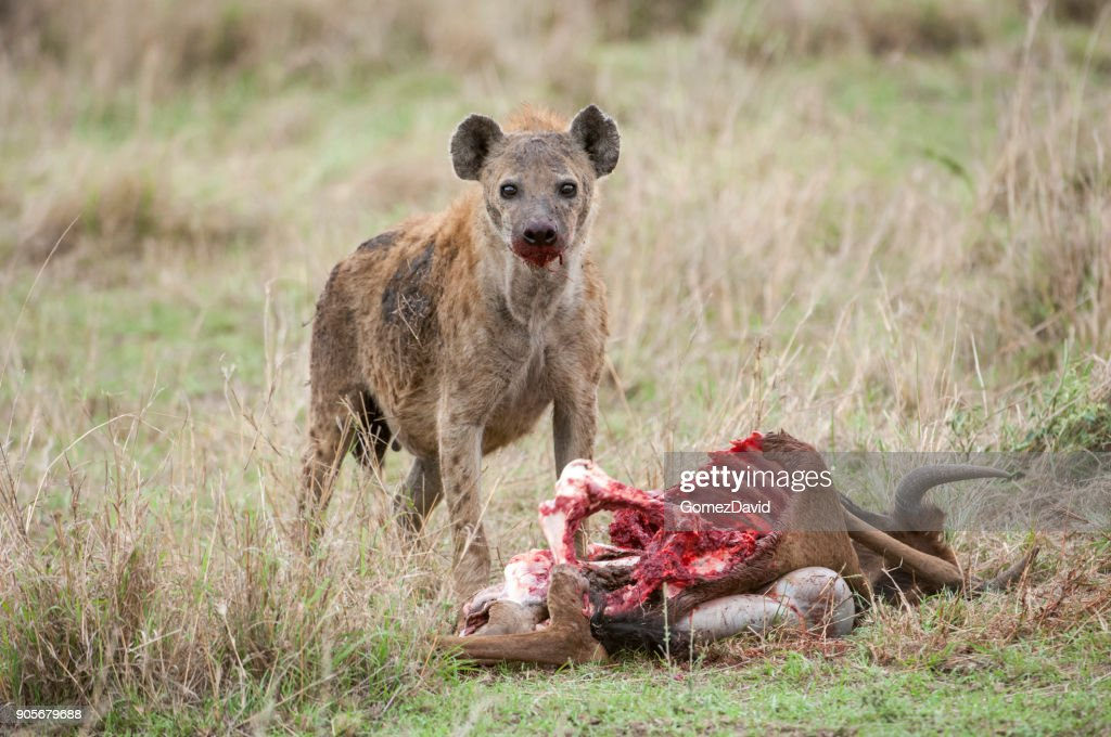 Close-up of Wild Spotted Hyena Feasting on a Wildlife Kill : Stock Photo