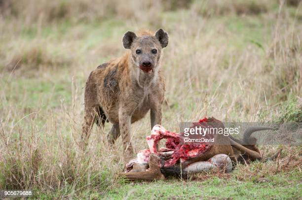 Close-up of Wild Spotted Hyena Feasting on a Wildlife Kill