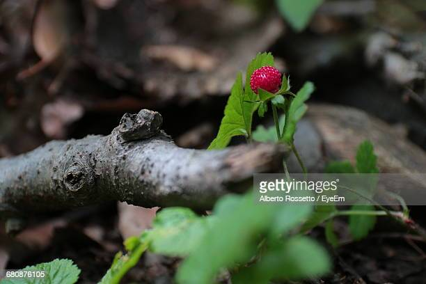 Close-Up Of Wild Strawberry In Forest