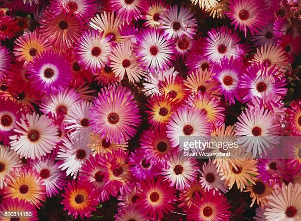 close-up of wildflowers - ナマクワランド ストックフォトと画像