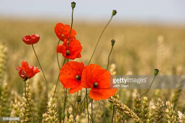 Close-up of wildflowers; Red poppies in a field of grain