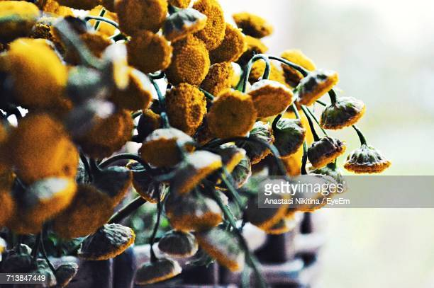 close-up of wilted chamomiles on fence - nikitina stock pictures, royalty-free photos & images