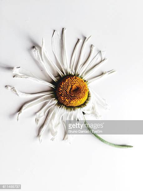 Close-Up Of Wilted Daisy On White Background