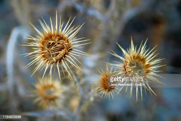 close-up of wilted dandelion - jens helmstedt stock-fotos und bilder