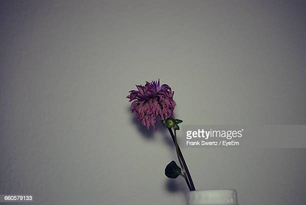 close-up of wilted flower against wall - frank swertz stock-fotos und bilder