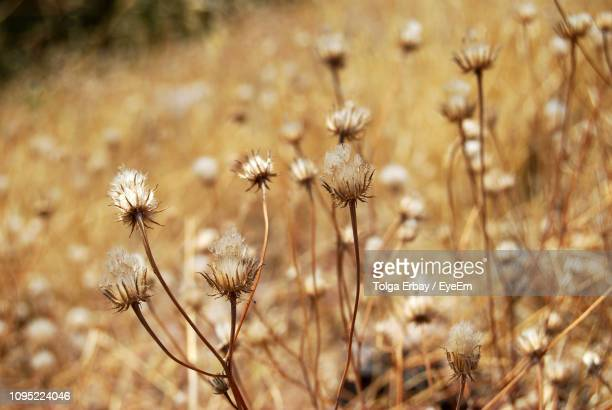 close-up of wilted flower on field - tolga erbay stock photos and pictures