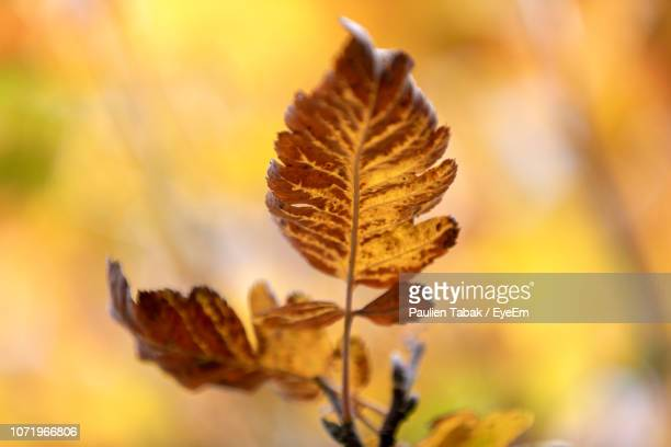 close-up of wilted plant during autumn - paulien tabak stock-fotos und bilder
