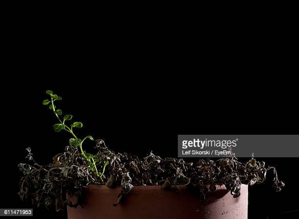 Close-Up Of Wilted Plant In Flower Pot Against Black Background