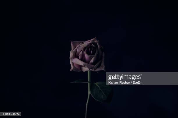 close-up of wilted rose against black background - black rose stock pictures, royalty-free photos & images