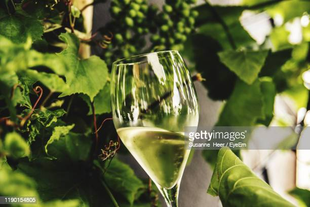 close-up of wineglass against plants - white wine stock pictures, royalty-free photos & images