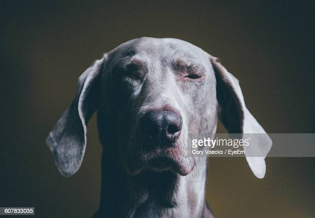 Close-Up Of Winking Weimaraner