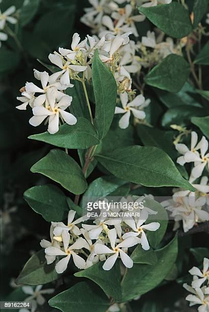 Closeup of Winter jasmine flowers