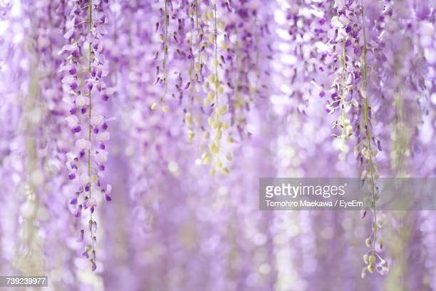 close-up of wisteria flowers - glycine photos et images de collection