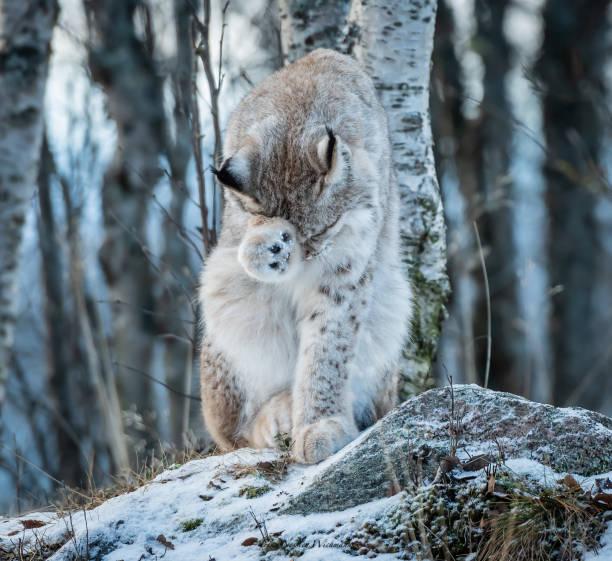 Close-up of wolf in forest,Noreog Uvdal Municipality,Norway