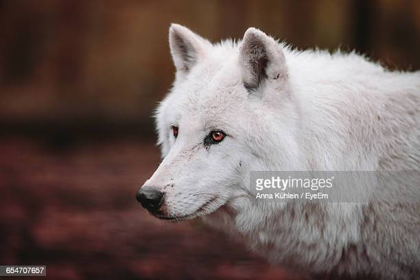 close-up of wolf looking away - loup blanc photos et images de collection